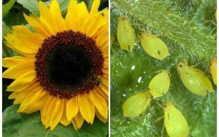 Hur man hanterar bladlöss på solrosor