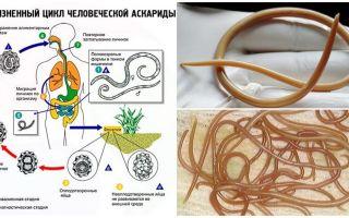Symptom och behandling av ascariasis hos vuxna