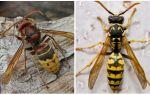 Beskrivning och bilder av hornets