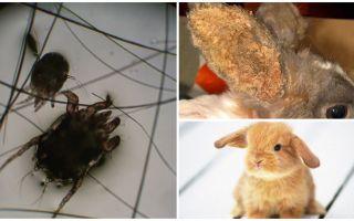 Behandling av öronmyt hos kaniner