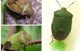 Woody green bug