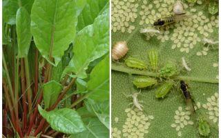 Hur bli av med bladlus på sorrel
