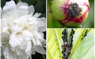 Hur bli av bladluor på pioner