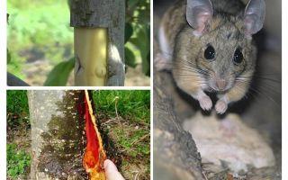 Hur man räddar äppelträdet, om barken efterlämnade möss