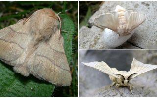 Beskrivning och foto av caterpillar och silkesmask fjäril