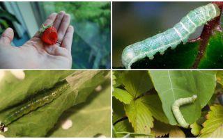 Hur bli av med larver på jordgubbar