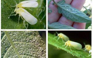 Hur man hanterar whitefly i växthuset