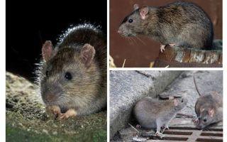 Grå råtta