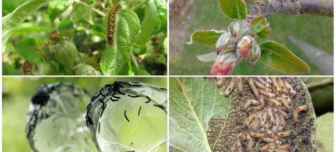 Hur bli av med larver på ett äppelträd