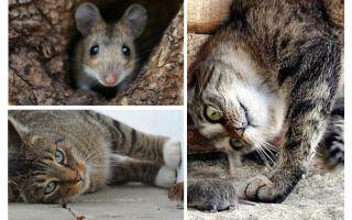 Äter katter och katter möss?