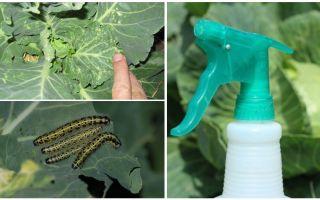 Hur bli av med fjärilar och kål caterpillar