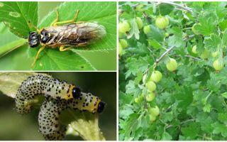 Hur man bearbetar krusbär från larver