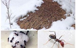Vad gör myror på vintern