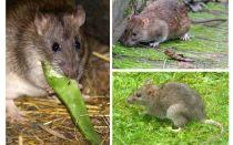 Hur ser råttor ut