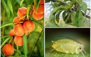 Hur man hanterar bladlöss på persika folk och shopping betyder