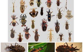 Bedbugs vektorer av alla sjukdomar