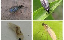 Hur bli av med svarta flugor i inomhusplantor och blomkrukor
