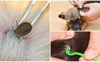 Hur man tar bort en ficka från en hund hemma