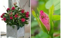 Bladlus på rosor - hur man hanterar och hur man blir av med