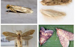 Vad hjälper från moth och dess larver