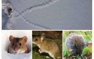 Spår av möss i snön