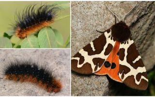 Beskrivning och foto caterpillar dipper Kaya