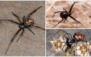 Hur spindlar karakurten