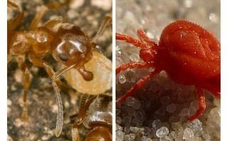 Myror mot fästingar