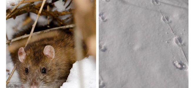 Hur ser råttspår ut i snön