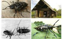 Beetle woodcutter foto och beskrivning