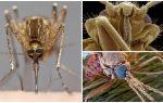Mygga i en större vy