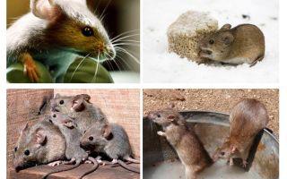 Intressanta fakta om möss