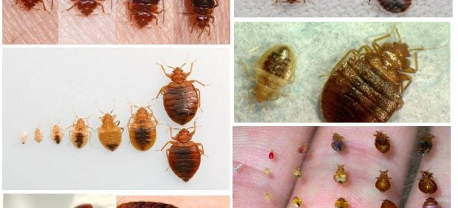 Skydd mot bedbugs hemma