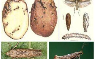 Potatismos - Lagringskontrollåtgärder
