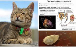 Symptom och behandling av Giardia hos katter