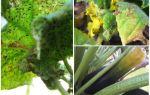 Hur bli av med bladlus på zucchini