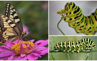 Beskrivning och foto av Caterpillar av Machaon fjärilen
