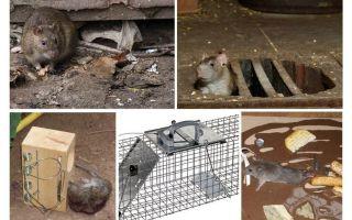 Hur man tar bort råttor från källaren folkmekanismer