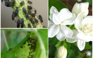 Hur bli av med bladlöss på jasmin