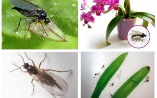 Hur bli av med svamp myggor (sciarid)