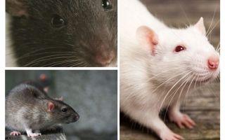 Råttvision