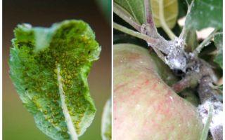 Hur bli av bladluor på äppelträd