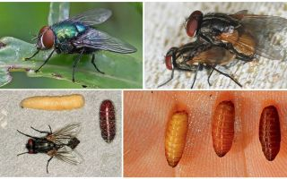 Hur flugor dyker upp