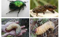 Vad är skillnaden mellan björnens larver och majbryggan