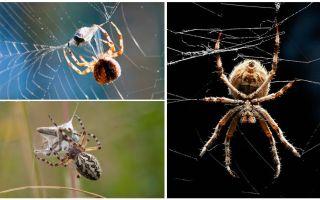 Som spindeln väver en web