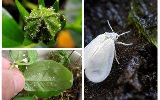 Hur bli av med whitefly på inomhusblommor