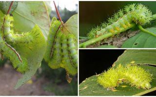 Beskrivning och bilder av farliga giftiga larver