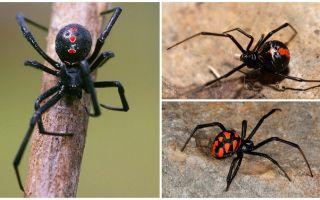 Varianter av spindlar foton med namn och beskrivningar