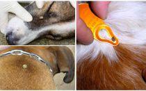 Tick bita hos en hund - symptom, effekter och behandling hemma