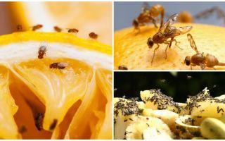 Hur bli av med fruktflugor i kökshandeln och folkmedicin